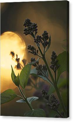Lilacs At Sunset Canvas Print by Penny Meyers