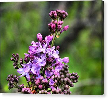 Lilacs Canvas Print by Tim Buisman