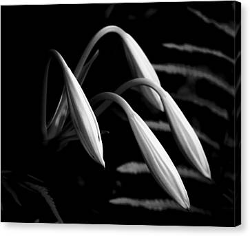 Lilies Of The Marsh B/w Canvas Print