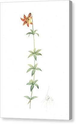 Lilium Penduliflorum, Lilium Canadense Lis à Fleur Canvas Print by Artokoloro