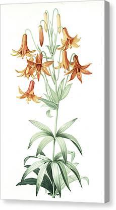 Lilium Penduliflorum, Lis à Fleurs Pendantes Canvas Print by Artokoloro