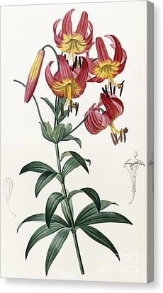Lilium Superbum Canvas Print