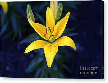 Lillies At Dusk Canvas Print by Thanh Tran