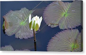 Lilly Blossom Canvas Print by Julie Cameron