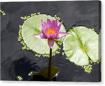 Water Lillies Canvas Print - Lilly Lake by Carey Chen