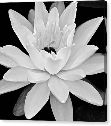 Lilly White Canvas Print by Frozen in Time Fine Art Photography