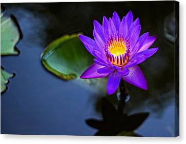 Canvas Print featuring the photograph Lily Awakens by Dave Files