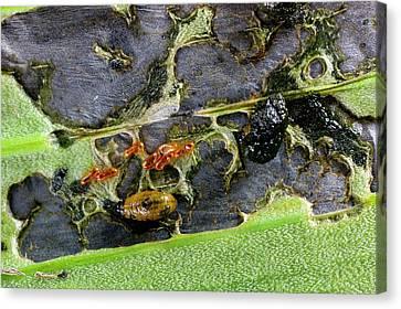 Lily Beetle Larvae On A Lily Leaf Canvas Print