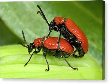 Lily Beetles Mating Canvas Print
