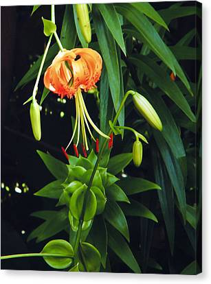 Canvas Print featuring the photograph Lily Bloom by Debra Crank