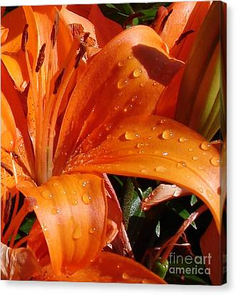 Canvas Print featuring the photograph Lily Drops by Kerri Mortenson