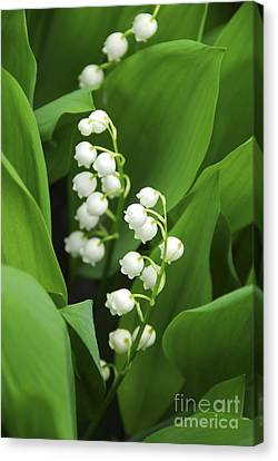 Leaves Canvas Print - Lily-of-the-valley  by Elena Elisseeva