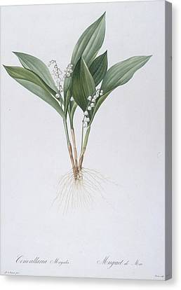 Horticultural Canvas Print - Lily Of The Valley by Pierre Joseph Redoute