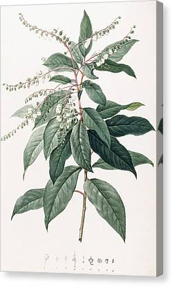 Lily Of The Valley Tree Canvas Print by Pierre Joseph Redoute