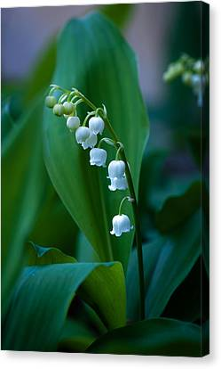 Lily Of The Valley Canvas Print by Wayne Meyer