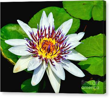 Lily On The Water Canvas Print by Nick Zelinsky