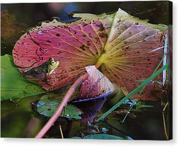 Lily Pad Beauty Canvas Print by Joy Bradley