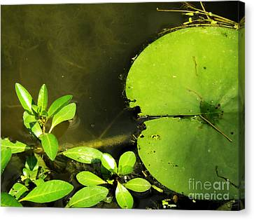 Lily Pad Canvas Print by Robyn King