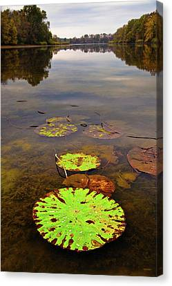 Lily Pads Decay In Fall Canvas Print by Steven Llorca
