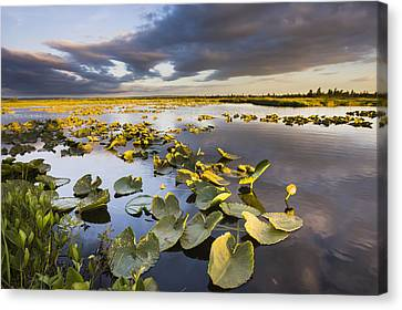 Lily Pads Glow At Sunset As The Clouds Canvas Print