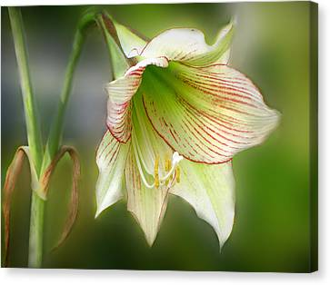 Lily Canvas Print by Phil Penne