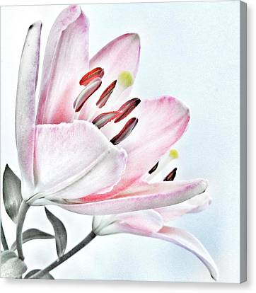 Lily - Soft Pink And Grey Flower Canvas Print by Marianna Mills