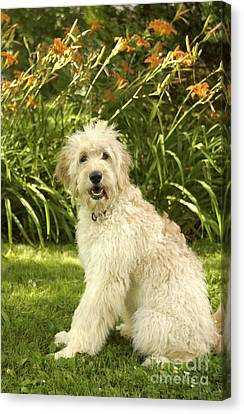 Lily The Goldendoodle With Daylilies Canvas Print by Anna Lisa Yoder