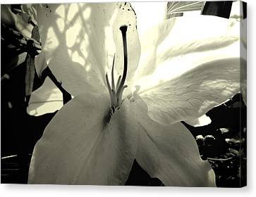 Lily White Canvas Print