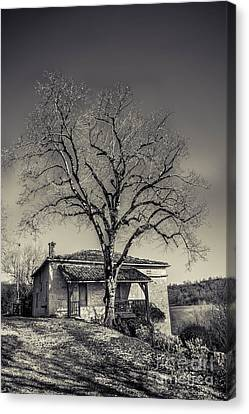 Lime Tree Canvas Print by Tony Priestley