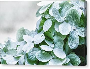 Canvas Print featuring the photograph Limelight Hydrangea by Cathy Donohoue
