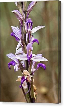 Limodore Orchid (limodorum Abortivum) Canvas Print by Bob Gibbons