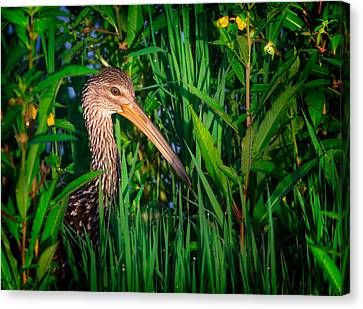 Limpkin At Sunrise Canvas Print by Mark Andrew Thomas