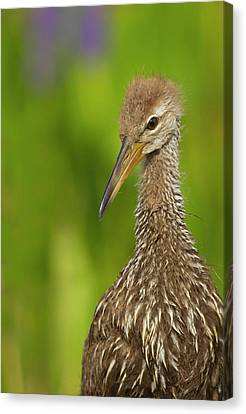 Limpkin Chick, Aramus Guarana, Viera Canvas Print by Maresa Pryor