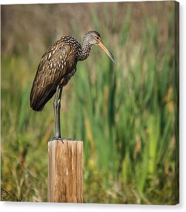 Limpkin Canvas Print by Jane Luxton
