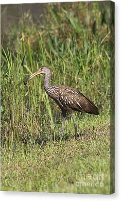 Canvas Print featuring the photograph Limpkin With Apple Snail by Christiane Schulze Art And Photography