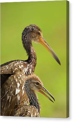 Limpkin With Chick, Aramus Guarana Canvas Print by Maresa Pryor
