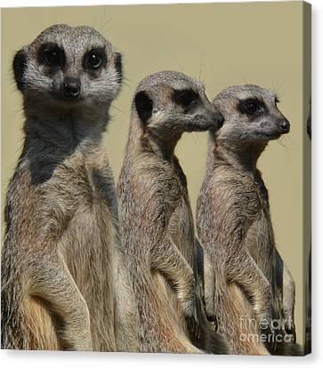 Line Dancing Meerkats Canvas Print