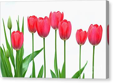 Line Of Tulips Canvas Print by Steve Augustin