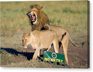 Lion And A Lioness Mating, Ngorongoro Canvas Print by Panoramic Images
