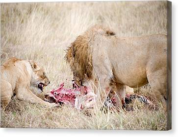 Lion And A Lioness Panthera Leo Eating Canvas Print