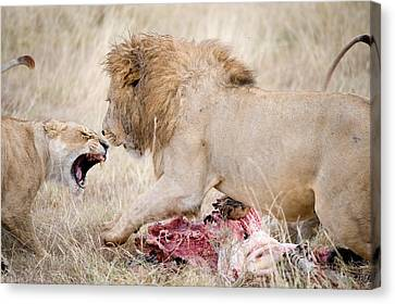 Lion And A Lioness Panthera Leo Canvas Print by Panoramic Images