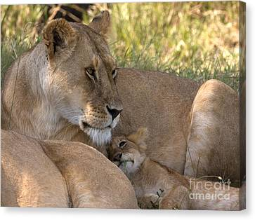 Canvas Print featuring the photograph Lion And Cub by Chris Scroggins