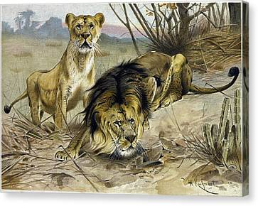 Lion And Lioness Canvas Print by English School