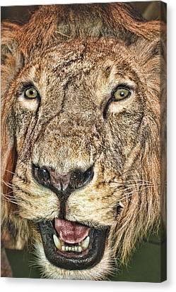 Canvas Print featuring the photograph Lion by Angel Jesus De la Fuente