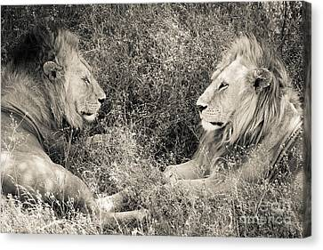 Canvas Print featuring the photograph Lion Brothers by Chris Scroggins