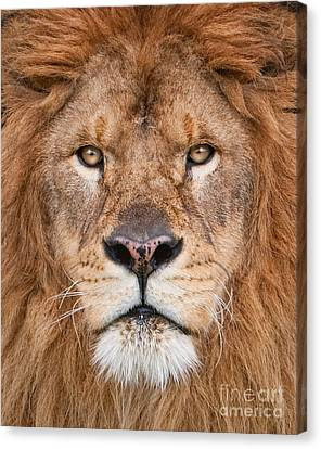Canvas Print featuring the photograph Lion Close Up by Jerry Fornarotto