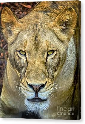 Lion Closeup Canvas Print by David Millenheft