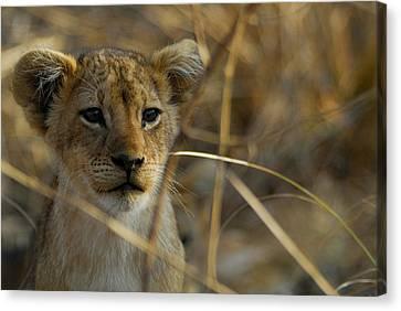 Lion Cub Canvas Print by Stefan Carpenter