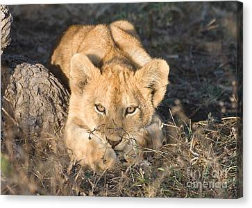 Canvas Print featuring the photograph Lion Cub Waiting For Mother by Chris Scroggins
