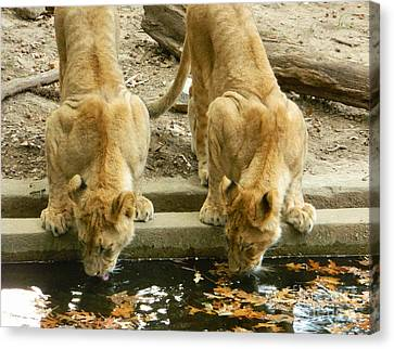 Lion Cubs Drinking Canvas Print by Emmy Marie Vickers